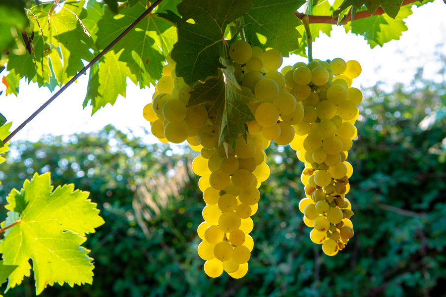 Popular white wine grapes (and where to buy white wine online)